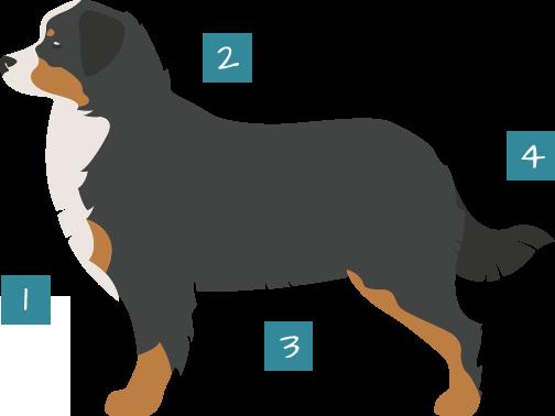 Champion Bernese Mountain Dog